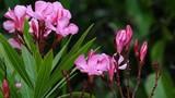 Chân dung người đẹp sát thủ trong thế giới thực vật VN