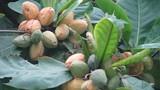 Ngạc nhiên với những khám phá ít người biết về cây bàng