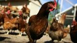 Thêm một ca tử vong vì cúm H5N1