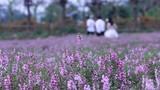 Đắm mình trong vườn hoa ngọc hân tím giữa lòng Hà Nội