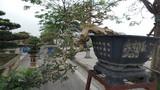 Siêu cây nguyệt quế 800 triệu của đại gia Thanh Hóa