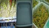 Các bước trồng rau mầm không cần đất siêu tiện lợi
