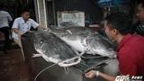 Nhà hàng HN xẻ thịt cá lăng cực hiếm 100 kg, bán giá 2 triệu/kg