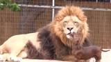 Ngược đời, chó và sư tử âu yếm nhau