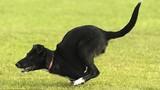 Chú chó có thân hình giống Kangaroo kỳ lạ nhất thế giới