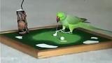 Vẹt biết đánh golf, chơi bóng rổ như người