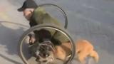 Cảm động chó trung thành đẩy xe lăn giúp chủ tàn tật