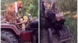 Xem chó lái xe giúp chủ tưới cây như người