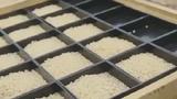 Bí mật của loại gạo ngon nhất thế giới