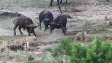 Trâu rừng hung hãn giải cứu đồng loại khỏi bầy sư tử