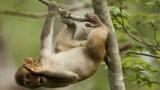 Lạ lùng thổ dân Mozambique huấn luyện khỉ săn lợn rừng