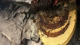 Tổ ong dữ khổng lồ cho người xin mật ở Tuyên Quang