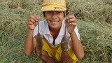 Chuột đồng miền Tây mùa nước nổi: Mập ú, ngon thịt