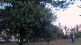 Tận mục cây mắc ca cổ thụ duy nhất Việt Nam