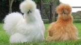 Tận mục thú chơi của đại gia Việt: gà lông xù chục triệu