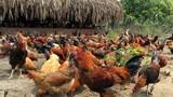 """Trang trại 6.000 con gà sạch nuôi theo kiểu """"nhà giàu"""""""