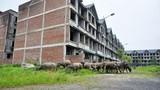 Những biệt thự, resort bỏ hoang thành nơi chăn thả gia súc
