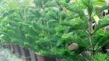 Loạt cây cực xui xẻo, hại sức khỏe không nên trồng trong nhà