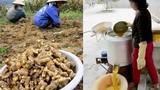 Nghề trồng và chế biến tinh bột nghệ thu nhập khủng ở Nghệ An