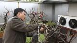 Thăm vườn đào tiền tỷ được chăm sóc đặc biệt ở Nhật Tân
