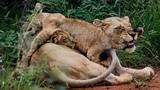 Sư tử mẹ nghiến răng cắn đuôi sư tử con