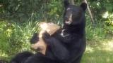 Gấu đen hung dữ vặt cả cổ hươu nhựa để ăn