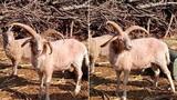 Phát hiện cừu 4 sừng cực hiếm ở Trung Quốc