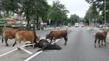 Rớt nước mắt cảnh bò không nỡ bỏ xác bạn trên đường