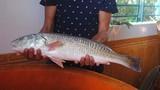 Nóng: Câu được cá sủ vàng giá nửa tỷ ở Quảng Bình