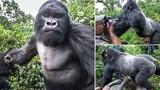 """Khỉ đột dùng nắm đấm """"nói chuyện"""" với nhiếp ảnh gia"""