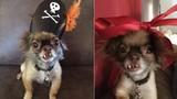 Chú chó Chihuahua răng hô và con đường nổi tiếng