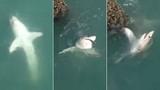 Hãi hùng cảnh người phụ nữ giằng co với cá mập trắng