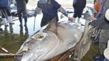 Bắt được thủy quái cá ngừ nặng 417 kg ở Nhật Bản
