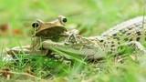Cảnh khó tin: Ếch dúi đầu cá sấu vì tội dám bắt nạt