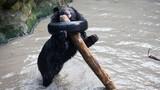Gấu đen quằn quại, vật vã vì kẹt đầu vào bánh xe