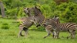 Ngựa vằn cắn xé nhau tơi tả để tranh giành quyền lực