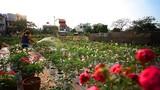 Ngắm vườn hồng siêu hiếm, hút hồn dân chơi dịp Tết