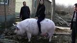 Vua lợn khổng lồ hiền lành để im cho gái trẻ cưỡi