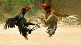 Tròn mắt xem gà đánh lộn với chó, mèo, rắn, đại bàng...