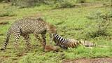Ngựa vằn con chết thảm khi lạc vào lãnh thổ báo đốm