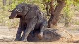 Đỏ mặt nhìn voi Nam Phi làm trò nhạy cảm