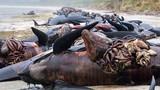 Thảm cảnh ruột cá voi lòi ra khỏi bụng trên bãi biển