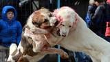 Chọi chó đẫm máu ở Kyrgyzstan tiếp tục gây kinh hoàng