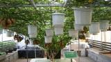 Cận cảnh trồng khoai lang leo giàn không cần đất