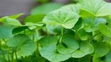 Mẹo chế biến rau má tha hồ giải nhiệt mùa hè