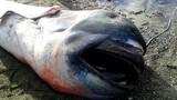 Xác cá mập miệng to quý hiếm dạt vào bờ biển Philippines