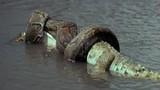 """Rợn người """"quái vật sông Amazon"""" ngấu nghiến nuốt chửng con mồi"""