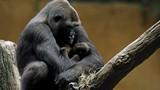 Ảnh quý về tình mẫu tử của khỉ đột gây xúc động