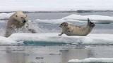 Rùng mình gấu trắng Bắc cực bất ngờ truy sát hải cẩu