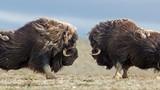 """Đại chiến giành quyền giao phối của những con bò xạ đực """"khủng"""""""